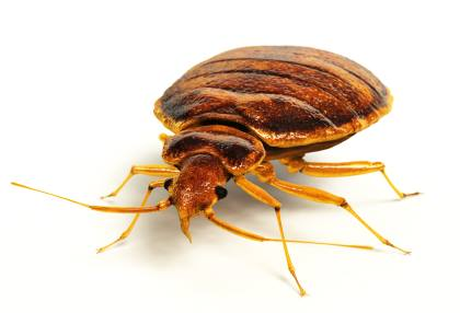 Bed bug extermination by Bug Out Pest Solutions, LLC