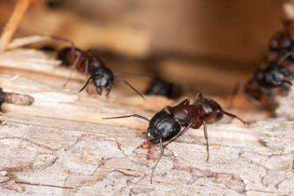 Carpenter ant extermination by Bug Out Pest Solutions, LLC