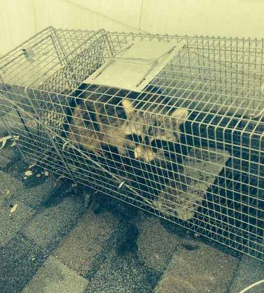 Raccoon trapping in Middlesex, NJ (1)