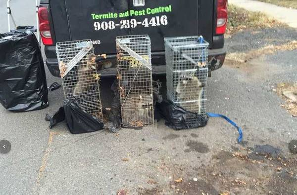 Raccoon trapping in Plainfield, NJ (1)